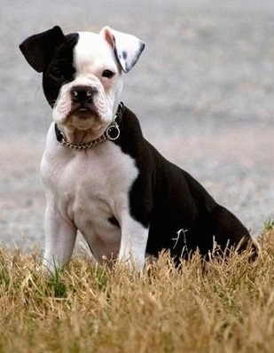 Front side view - A white and black Olde Boston Bulldogge puppy is sitting in grass and it is looking forward. Half of its face is black and the other half is white.