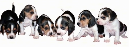 Litter of Olde English Pocket Beagle Puppies - Courtesy of Pocket Beagles USA