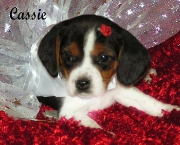 ... Olde English Pocket Beagle puppies, photo courtesy of Pocket Beagles