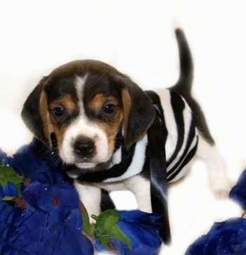 Mac, the Pocket Beagle Puppy - Courtesy of Pocket Beagles USA
