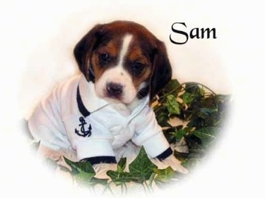 Sam the Pocket Beagle puppy, photo courtesy of Pocket Beagles USA