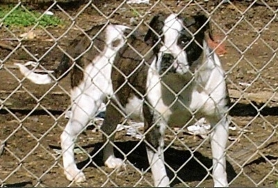 A brown brindle with white Otto Bulldog is standing in dirt behind a chainlink fence.