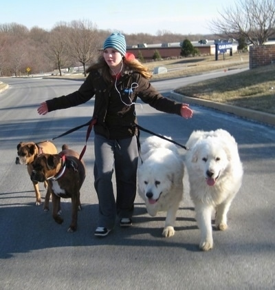Amie walking Allie and Bruno the Boxers as well as Tundra and Tacoma the Great Pyrenees. Crossing the street with leashes tied to her, handsfree
