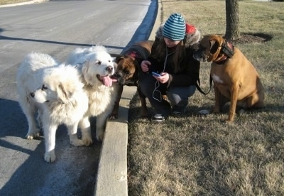 Amie atanding with Allie and Bruno the Boxers who are sitting in a yard. Tundra and Tacoma the Great Pyrenees are standing curbside