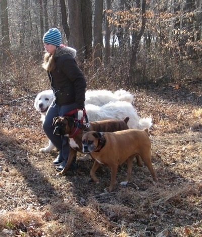 Amie walking Allie and Bruno the Boxers as well as Tundra and Tacoma the Great Pyrenees. From a side view