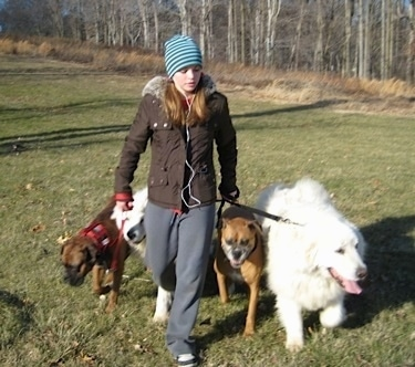 Amie walking Allie and Bruno the Boxers as well as Tundra and Tacoma the Great Pyrenees