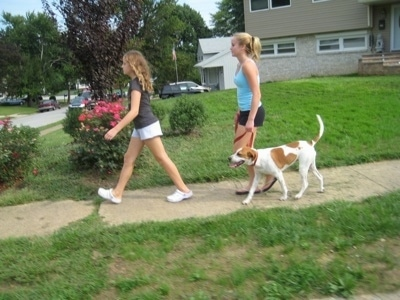 Two blonde haired girls are walking a tan with white Beagle mix puppy down a sidewalk in a neighborhood. The dog is heeling beside the girl in the back.