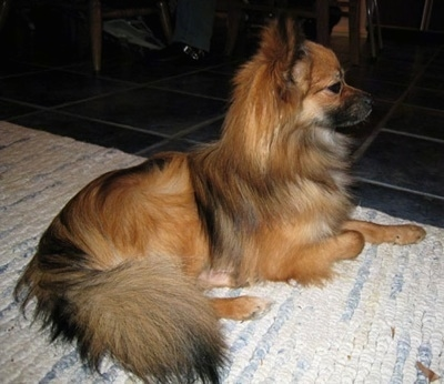 Papillon/Pomerania mix Images