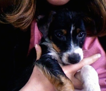 Close up head shot - A black with white and brown Papijack puppy is being held close to the chest of a person who is wearing black and hot pink.