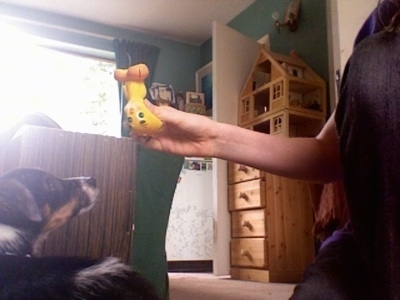 The back of a black with white and brown Papijack puppy laying on a carpet  looking up at a squeaky, yellow and orange Tweety Bird toy that a person is holding. There is a wooden dresser with a wooden doll house across the room.