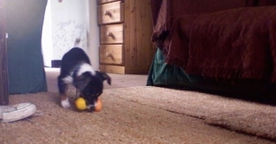 Front view - A black with white and brown Papijack puppy is standing on a carpet and it has a squeaky, Tweety Bird toy in its mouth.