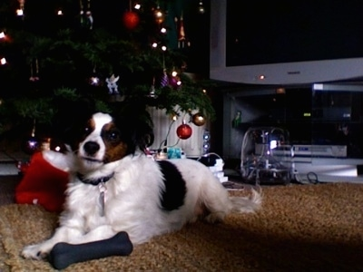 Front side view - A white with black and brown Papijack is laying on a tan carpet next to a lit Christmas tree looking forward with its head slightly tilted to the right. There is a TV behind it and a black bone next to its front paws.