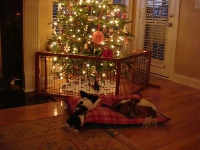 Two Papillons are laying down on a pillow in front of a lit-up Christmas Tree with a pen around it.