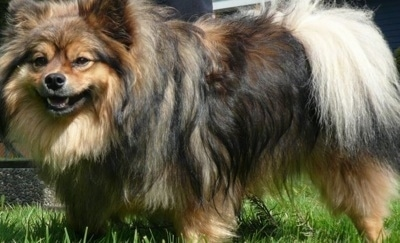 Close up side view - A long-haired, black with brown Peek-A-Pom dog is standing in grass and it is looking forward. It has a thick coat with longer fringe hair on its tail. Its small ears are perked up with fringe hair on them.