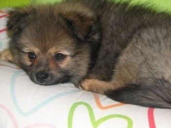 Close up - A small, fuzzy, black with brown Peek-A-Pom puppy is laying down across a bed and it is looking over the edge. Its ears are small flipped slightly towards the front with fluffy hair on them.