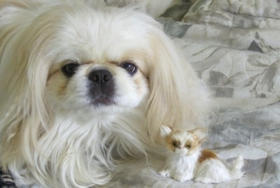Close up - A white Pekingese is laying on top of a bed. In front of it is a brown with white tiny dog toy. It is looking forward.
