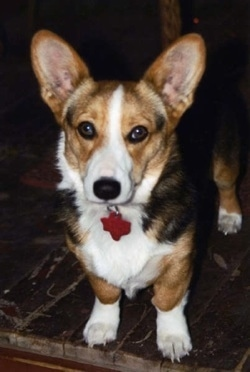 Front view - A tricolor tan, black and white, short-legged dog is standing on a carpet looking forward.