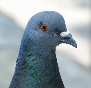 Close up head shot - The face of a pigeon that is looking to the right.