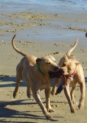 Two Pit Bull Terriers are running down a beach playing with a toy