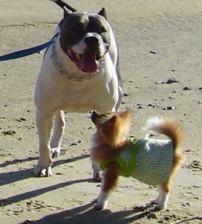 The left side of a Pomeranian that is looking up at a white with black Pitbull Terrier at a beach