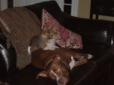 A Pomeranian is laying on top of a brown with white Pit Bull Terrier that is laying on a leather couch