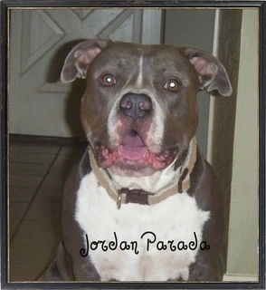 Jordan the Pitbull Terrier