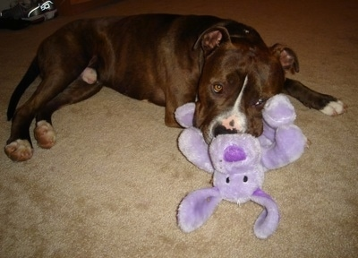 The right side of a brown with white Pitbull Terrier that is laying down across a carpet with a purple plush toy of a floppy earred dog in its mouth.