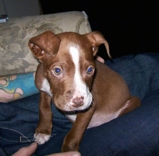 The front left side of a brown with white Pit Bul Terrier puppy that is sitting in the lap of a person sitting on a couch and it is looking forward.