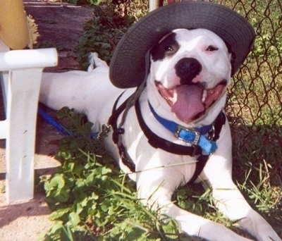The front right side of a white with black Pitbull Terrier that is wearing a hat. It is laying against a chain link fence with its mouth open and tongue out