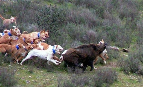 A pack of Podengo Portuguese Grande dogs are hunting a boar. A few of the dogs are biting at the animal.