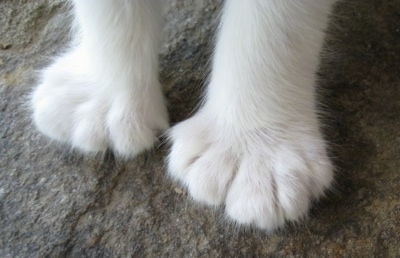 The feet of a white Polydactyl cat