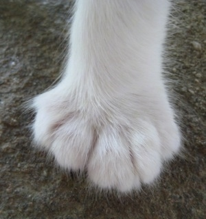 Close Up - The Foot of a white Polydactyl Cat. It has five toes