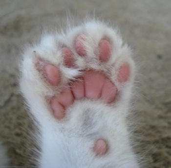 Close Up - Underside of the left front paw showing extra toes of a white Polydactyl Kitten.