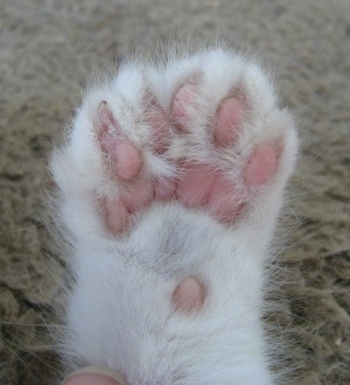 Close up - Underside of the right front paw showing extra toes of a white Polydactyl Kitten.