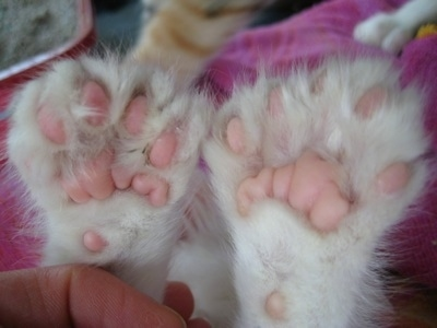 Close Up - Underside of the front paws showing extra toes of a white Polydactyl kitten.