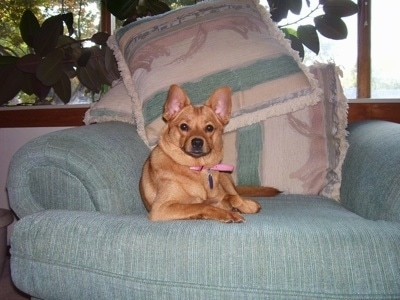 Front view - A red short-haired Pomchi dog is laying on a green couch and there are a fort of pillows behind her. The dog is looking forward.