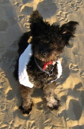 A fuzzy black with white Pomapoo is sitting in sand and it is looking up. It is wearing a white scarf around its body.