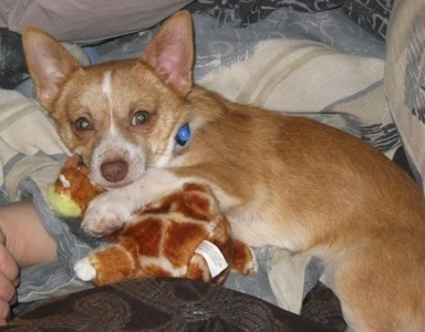 A shorthaired red with white Pomchi dog is laying on a bed on top of a person with a plush toy under its front paw.