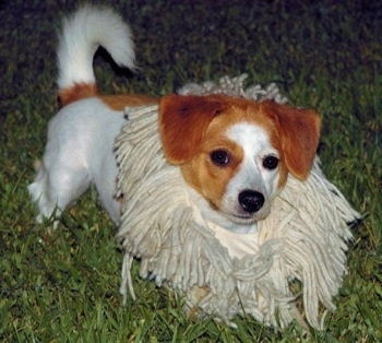 Front side view - A white with red Pomeagle puppy is laying down in grass and looking forward. It has the end of a mop wrapped around its neck as to look like a lions mane. Its tail is curled up.