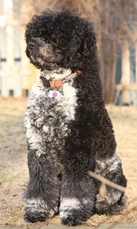 Front side view - A thick, curly coated, black with grey and white Portuguese Water Dog is sitting in grass and it is looking to the left.