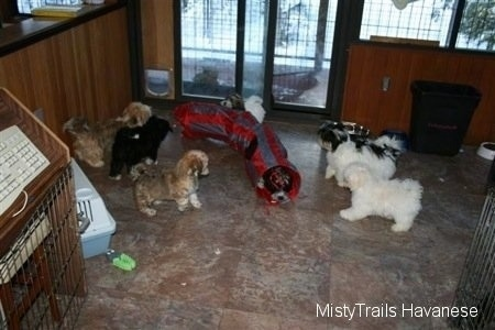 A litter of six Havanese puppies playing around on a tiled floor
