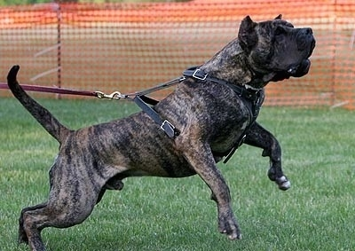 Drago De Dona Aurora the Presa Canario wearing a harness and jumping up in the air towards the right