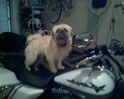 Side view - A shaggy-looking, tan with black Pughasa dog is standing on top of a Harley Davidson motorcycle looking up and forward inside of a garage.