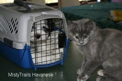 Puppy in a travel crate with a gray cat sitting in front of it