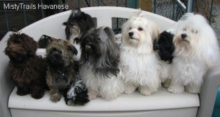 Six Havanese dogs are sitting on a plastic love seat type bench. They are all looking up and to the left.