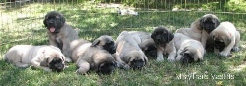 A litter of eleven Mastiff puppies laying in a field. One puppy is sitting, its panting and it is looking forward.