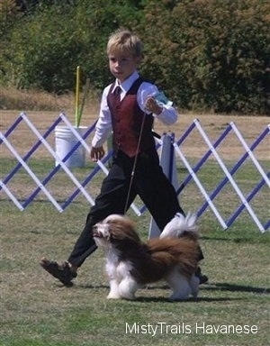 Havanese dog being walked around a dog show by a boy