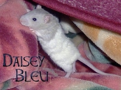 A grey and white rat is standing up on and preparing to climb up a blanket. The words - Daisy Bleu - are overlayed in the bottom left of the image.