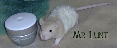 A tan and white Rat is standing on a carpet and next to it is a container of make-up.