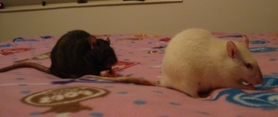 A black rat is standing on a bed behind a white rat. They are both eating items on top of a pink blanket.